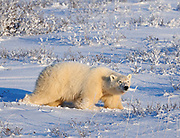 Polar Bear (Ursa maritimus) walking on sub-arctic Hudson Bay