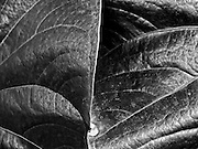 This is a close-up of several leaves at the Brooklyn Botanical Gardens in Brooklyn New York.