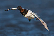 Canvasback, Aythya valisineria, male, Harsen's Island, Michigan