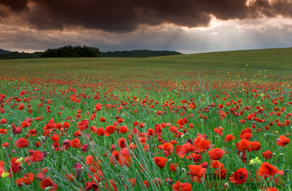 Poppy flowers in a breeding ground.<br /> Ayegui, Navarre, Spain, Europe.