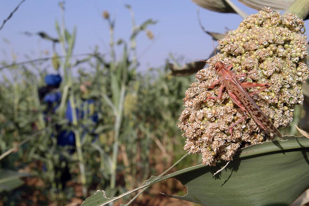 Criquets dans un champ de mil, province du Guidimakha, l'une des plus touch&eacute;es par l'invasion de criquets p&egrave;lerins de 2004.<br /> La Mauritanie a perdu environ 30&nbsp;% de ses r&eacute;coltes, ouvrant une p&eacute;riode de crise alimentaire.