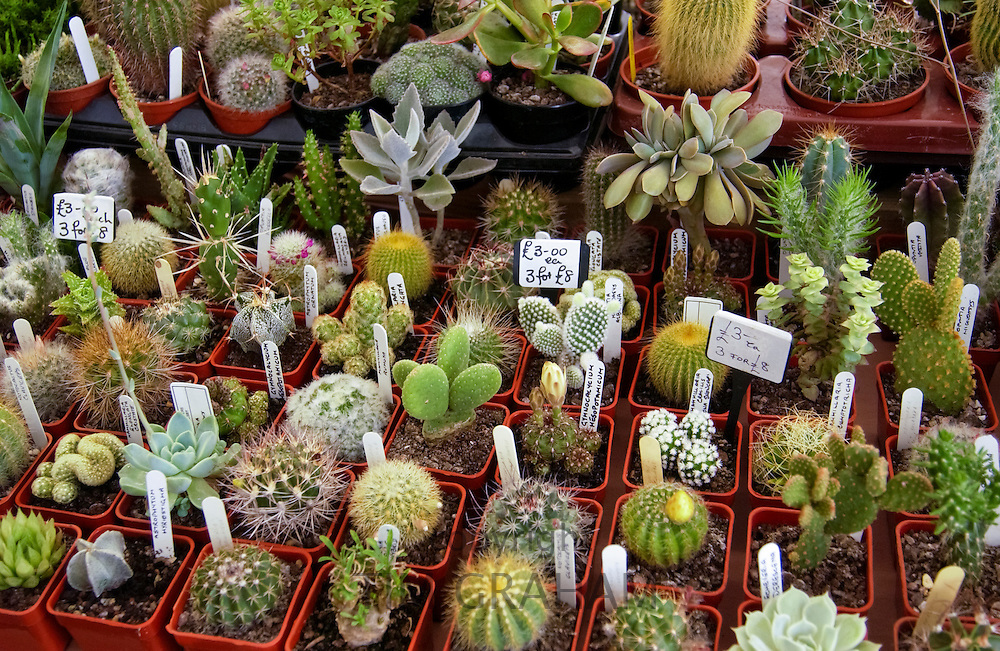 Cacti, Cactaceae, on sale at the Hampton Court Flower Show in London, England, UK