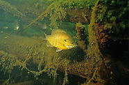 Hybrid Sunfish, Underwater