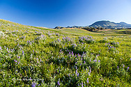 Lupine wildflowers in the rolling hills of the Bears Paw Mountains in summer in Blaine County, Montana, USA