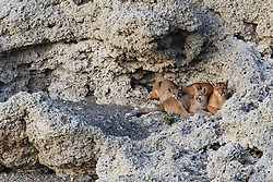 A female puma (Puma con color) also known as a mountain lion or cougar, and her two cubs on stromolite rock, Torres del Paine, Chile, South America