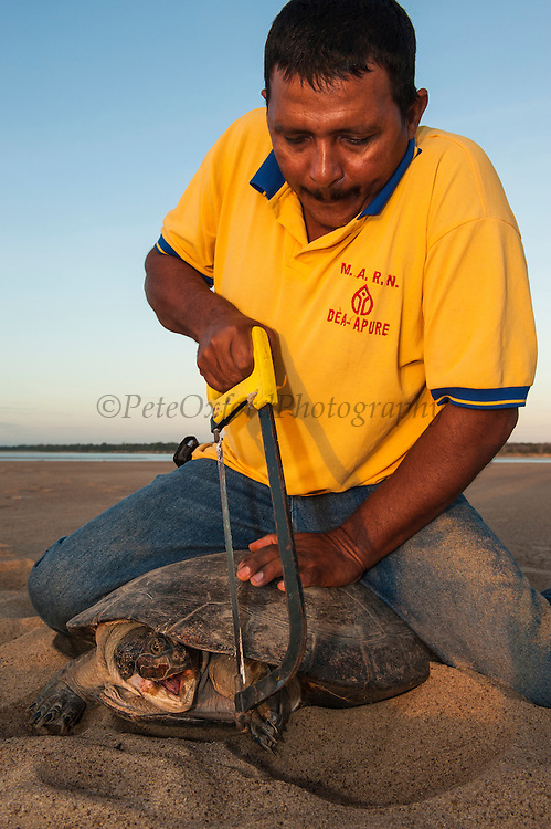 Giant River Turtle (Podocnemis expansa) having carapace marked for future ID by Hidalgo Hector Tovar CAPTIVE-REARING PROGRAM FOR REINTRODUCTION TO THE WILD<br /> CITES II      IUCN ENDANGERED (EN)<br /> Playita Beach, (mid) Orinoco River, 110 Km north of Puerto Ayacucho. Apure Province, VENEZUELA. South America. <br /> L average 90cm, Wgt 30-45kg. Largest fresh water river turtle in South America. Eggs round & 42mm. 90-100 per clutch. 6-8 weeks incubation.<br /> Females come ashore to sun themselves for several days before laying to boost egg development.  They lay when the river is at its lowest. Herbacious and live in white or black water rivers moving into flooded forests of the Amazon during the wet season to feed on fallen seeds and fruit.<br /> RANGE: Amazonia, Llanos & Orinoco of Colombia, Venezuela, Brazil, Guianas, Ecuador, Peru & Bolivia.<br /> Project from Base Camp of the Protected area of the Giant River Turtle (& Podocnemis unifilis). (Refugio de Fauna Silvestre, Zona Protectora de Tortuga Arrau, RFSZPTA)<br /> Min. of Environment Camp which works in conjuction with the National Guard (Guardia Nacional) who help enforce wildlife laws and offer security to camp. From here the ministery co-ordinate with other local communities along the river to hand-rear turtles for the first year of their life and then release them. They pay a salary to a person in each community that participates in the project as well as providing all food etc. The turtles are protected by law and there is a ban on the use of fishing nets in the general area. During egg laying season staff sleep on the nesting beaches to monitor the nests.  All nests layed on low lying ground are relocated to an area not likely to flood. They are then surrounded by a net to catch all hatchlings who will then spend the first year of their life in captivity to increase their chances of survival. Biometric data is taken from any female they find that has layed eggs and is returning