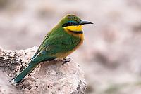 cinanmon chested bee-eater, Amboseli National Park, Kenya