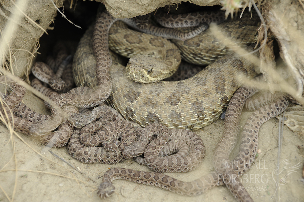 Near Medicine Hat, Alberta. ..Prairie rattlesnake den with adult female and young at Peigan Creek conservation area. ..