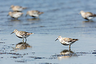 Rock Sandpipers (Calidris ptilocnemis) foraging on St. Paul Island in Southwest Alaska. Summer. Afternoon.