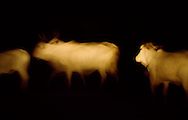Cattle by car light