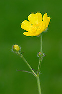 MEADOW BUTTERCUP Ranunculus acris (Ranunculaceae) Height to 1m. Downy perennial of damp grassland habitats. FLOWERS are 18-25mm across and comprise 5 shiny, yellow petals with upright sepals; borne on long, unfurrowed stalks (Apr-Oct). FRUITS are hook-tipped and borne in a rounded head. LEAVES are rounded and divided into 3-7 lobes; upper ones are unstalked. STATUS-Widespread and abundant throughout.