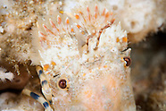 Antipodarctus aoteanus (Spanish Lobster)