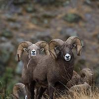 trophy big horn rams in grass habitat