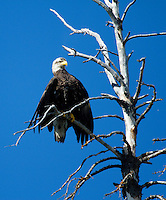 Bald eagle as seen on the Chilko River. British Columbia, Canada.