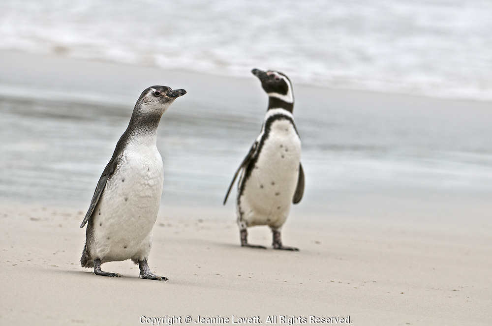 Magellanic penguin adult and chick walk along the seashore.
