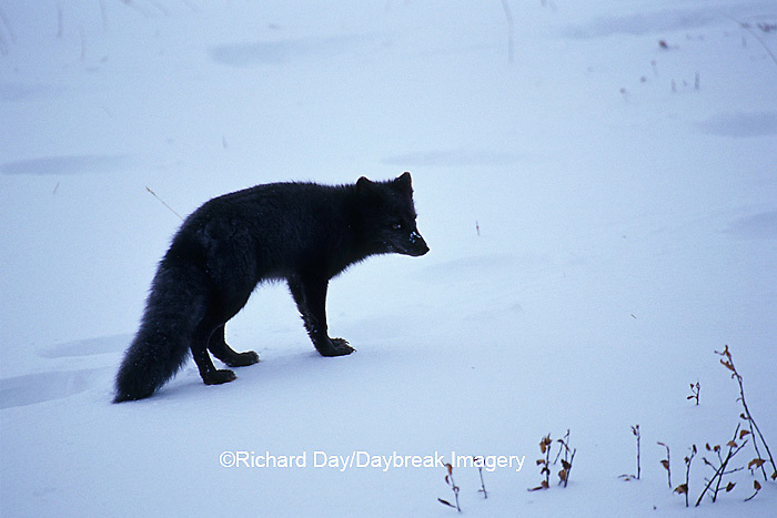"01863-00911 Arctic Fox (Alopex lagopus) ""Blue Phase"" Churchill MB Canada"