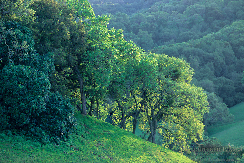 Oak trees on green hillside in Spring, Briones Regional Park, Contra Costa, California