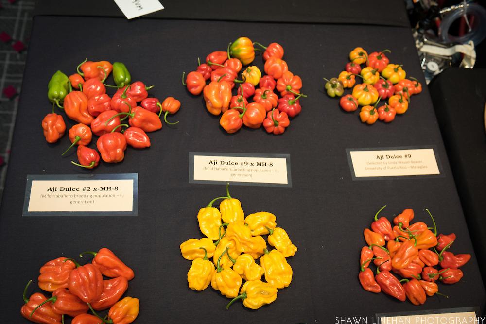 PEPPER (AJI & HABANERO), Capsicum chinense<br />