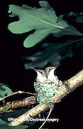 01162-021.02 Ruby-throated Hummingbird (Archilochus colubris) nestlings, Marion Co.   IL