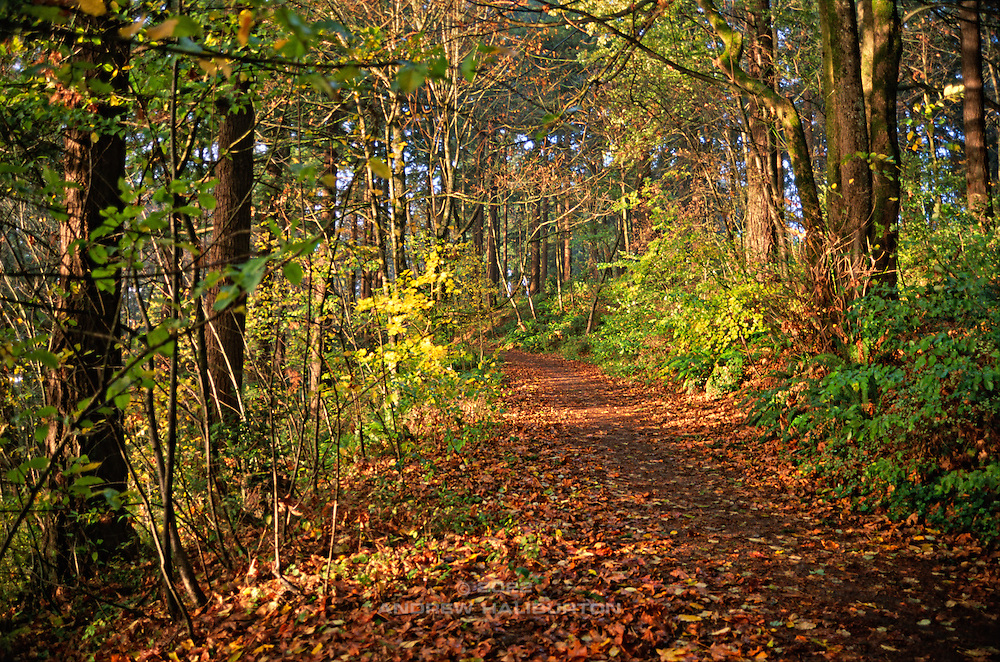 Autumn leaves and sun on forest trail, Mount Tabor Park, Portland, Oregon.  In 1903, John Charles Olmsted of the Massachusetts-based landscape design firm Olmsted Brothers recommended that a city park be developed at Mount Tabor.  Portland Parks Superintendent Emanuel T. Mische, who had worked at Olmsted Brothers, consulted with Olmsted on the park layout and integration of the reservoirs into the park design.  Photo: September 1999.  Nikon F4, 35/2.0.  Fuji Velvia RVP50.