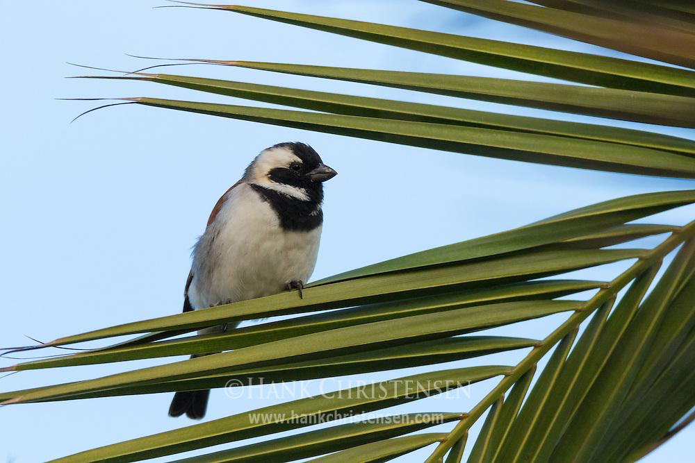 A male cape sparrow perches on palm fronds in soft morning light, Swakopmund, Namibia.