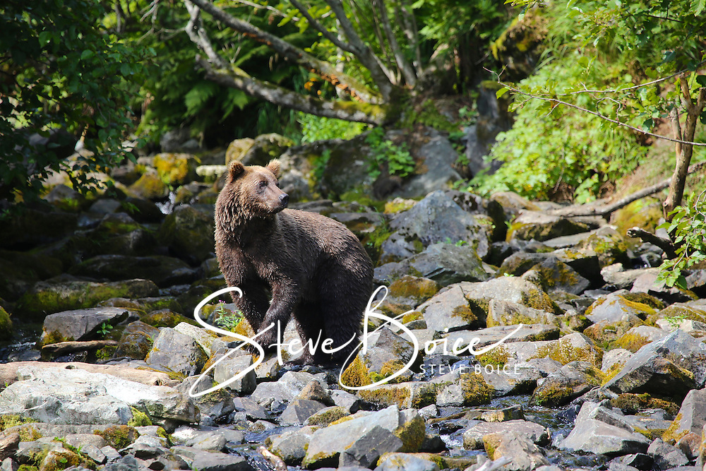 Alaskan Grizzly Bear in Wolverine Creek outside of Lake Clark National Park, Alaska