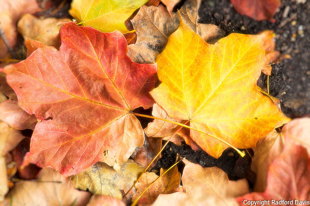 Autumn leaves in Ames, Iowa