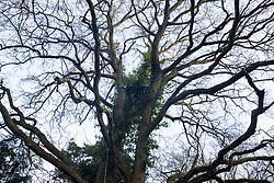 Denham, UK. 3 February, 2020. A platform high up in a mature tree believed to be marked for felling for the HS2 high-speed rail link in Denham Country Park. Environmental activists have occupied some of the trees as part of plans to seek to prevent works for HS2 including the felling of 200 trees and the construction of a Bailey bridge, compounds, fencing and a parking area. One side of the river bank lies within a wetland nature reserve forming part of a Site of Metropolitan Importance for Nature Conservation (SMI).