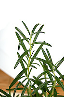 Close up of fresh rosemary