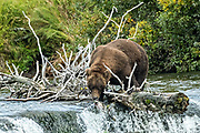 An adult Brown Bear catches a Sockeye Salmon standing on the lip edge at Brooks Falls in Katmai National Park and Preserve September 15, 2019 near King Salmon, Alaska. The park spans the worlds largest salmon run with nearly 62 million salmon migrating through the streams which feeds some of the largest bears in the world.