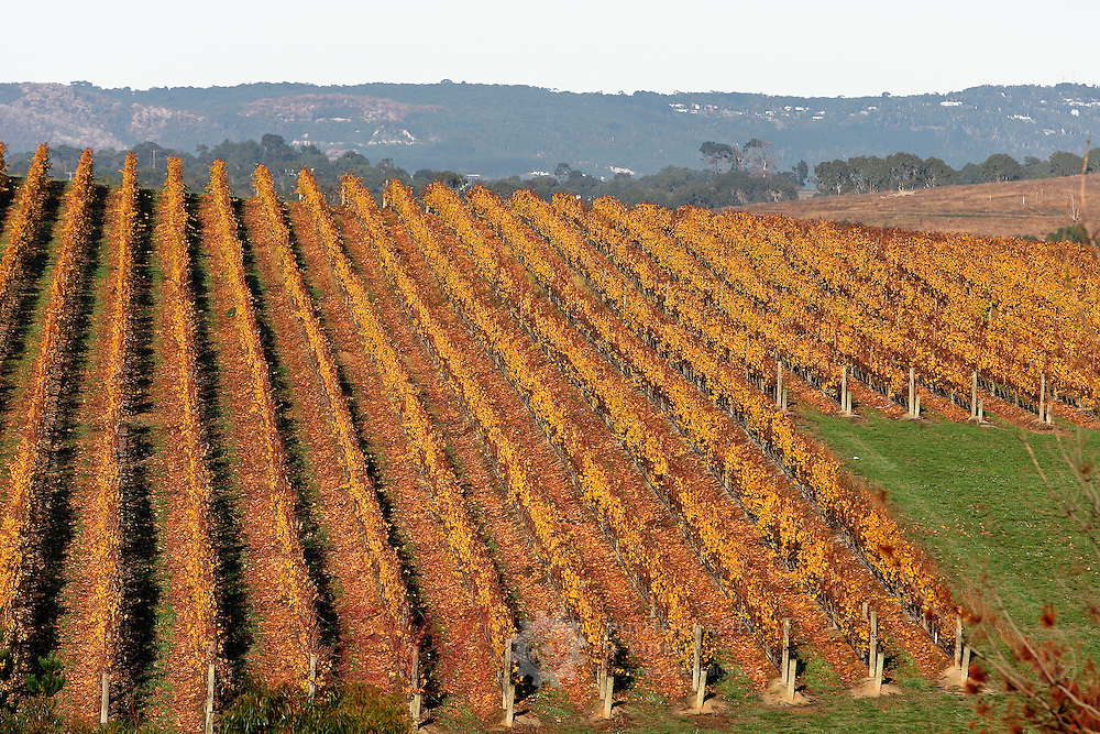 Vinyard in Autumn.<br /> <br /> For larger JPEGs and TIFF Contact EFFECTIVE WORKING IMAGE via our contact page at : www.photography4business.com