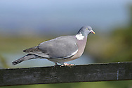 Woodpigeon Columba palumbus L 41cm. Plump, familiar bird whose 'song' is a countryside familiar sound, as is loud clatter of wings heard a bird flies off. Forms flocks outside breeding season. Sexes are similar.<br /> Adult has mainly blue-grey plumage with pinkish maroon on breast. Note white patch on side of neck and, in flight, prominent, transverse white wingbars, dark wingtips and dark terminal band on tail. Juvenile is similar but white mark on neck is missing. Voice Sings a series of oo-OO-oo, oo-oo phrases. Status Abundant on farmland and lightly wooded countryside generally. Also increasingly in towns.