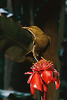 A giant honeyeater, Gymnomyza viridis, on introduced ginger.
