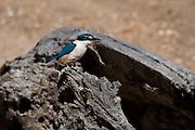 Sacred Kingfisher, New Zealand