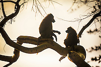 Baboons in a tree, Lake Nakuru National Park, Kenya.