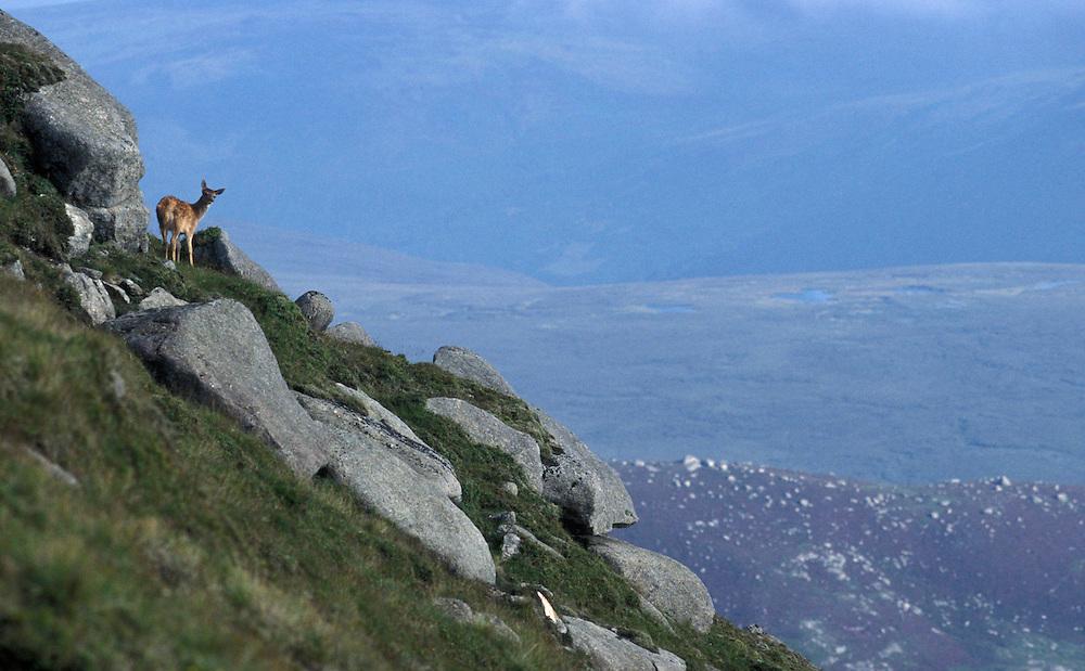A Red Deer stands near the top of Goat Fell, Arran Island, Scotland.