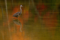 A great blue heron standing in the water of Walden Pond.