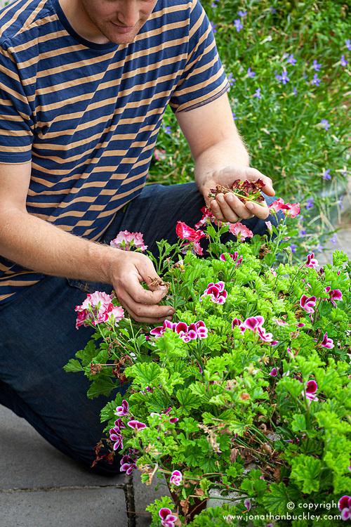 Deadheading summer containers (pelargonium)