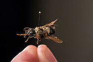 Pollinators include wasp and hornets. Wasp can be both beneficial and pest.