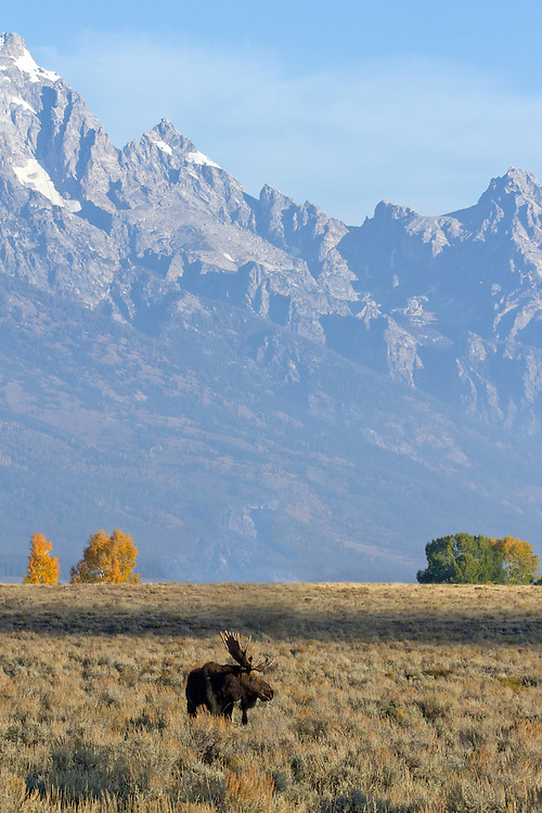 A large bull moose pauses under the shadow of the Grand Teton. Earlier in the morning, this stately bull had presided over a herd of four cows, but by the time this photo was taken, the cows had been snatched by a rival bull.