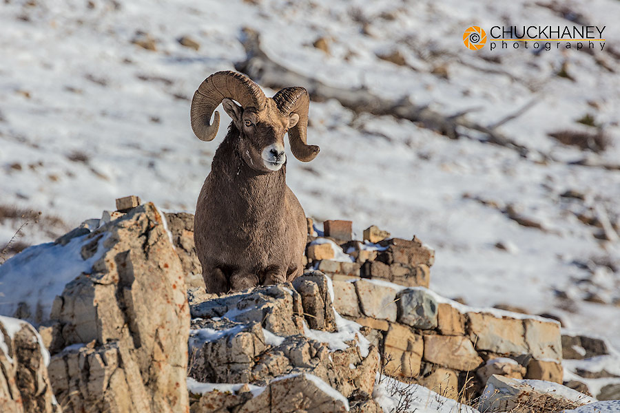 Bighorn sheep ram in early winter in Glacier National Park, Montana, USA