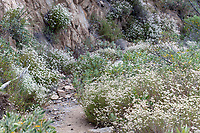 California buckwheat (Butterfly habitat) at Grizzly Flat, Los Angeles Co, CA, USA, on 07-Jul-18