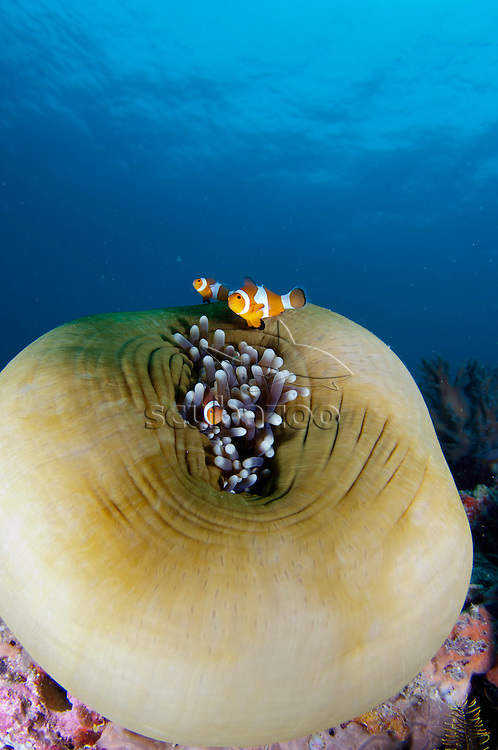False clown anemonefish, Amphiprion ocellaris, in and above closed magnificent anemone, Mantabuan Island, Sabah, Malaysia, Borneo.