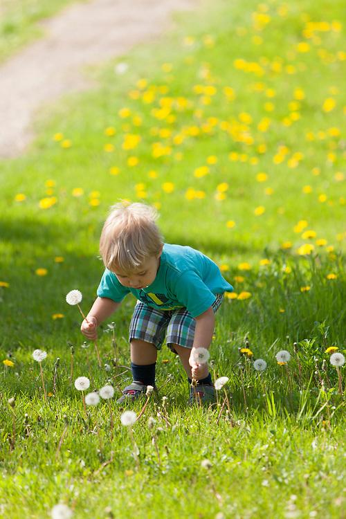 Little boy discovering dandelions