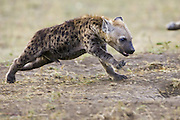 Spotted Hyena<br /> Crocuta crocuta<br /> 11-13 week old cub running<br /> Masai Mara Conservancy, Kenya