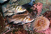 Fish swim in a tank with a sea anemone, at the Oregon Coast Aquarium, Newport, Oregon.  Sea anemones (which are named after the anemone, a terrestrial flower) are predatory animals of the order Actiniaria. As cnidarians, sea anemones are closely related to corals, jellyfish, tube-dwelling anemones and Hydra.