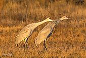 Rails Coots Cranes Limpkin Gallinules