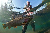 Large Russian Rainbow Trout hooked by an angler