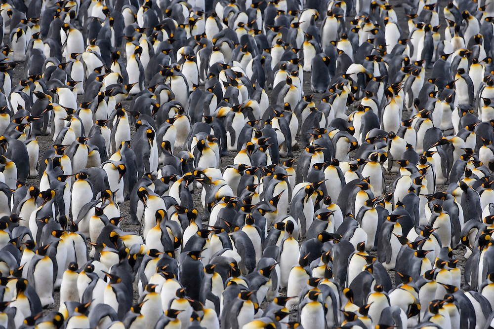 Antarctica, South Georgia Island (UK), King Penguins (Aptenodytes patagonicus) in crowded rookery on hillside above Right Whale Bay at sunset on late summer evening