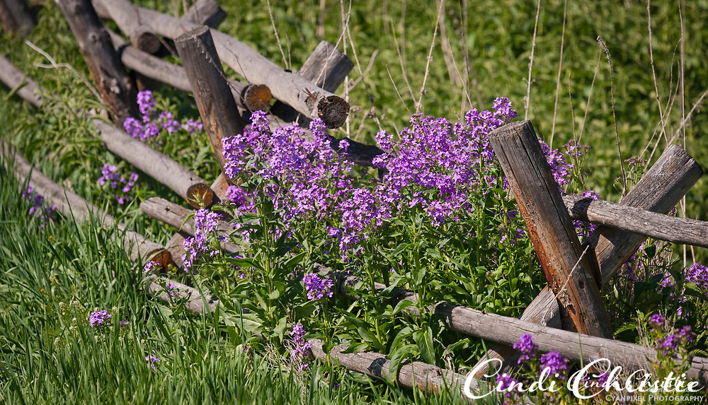 Dame's rocket (Hesperis matronalis) grows on a rustic fence rail on May 29, 2017, at the Sacajawea Center in Salmon, Idaho. (© 2017 Cindi Christie/Cyanpixel)